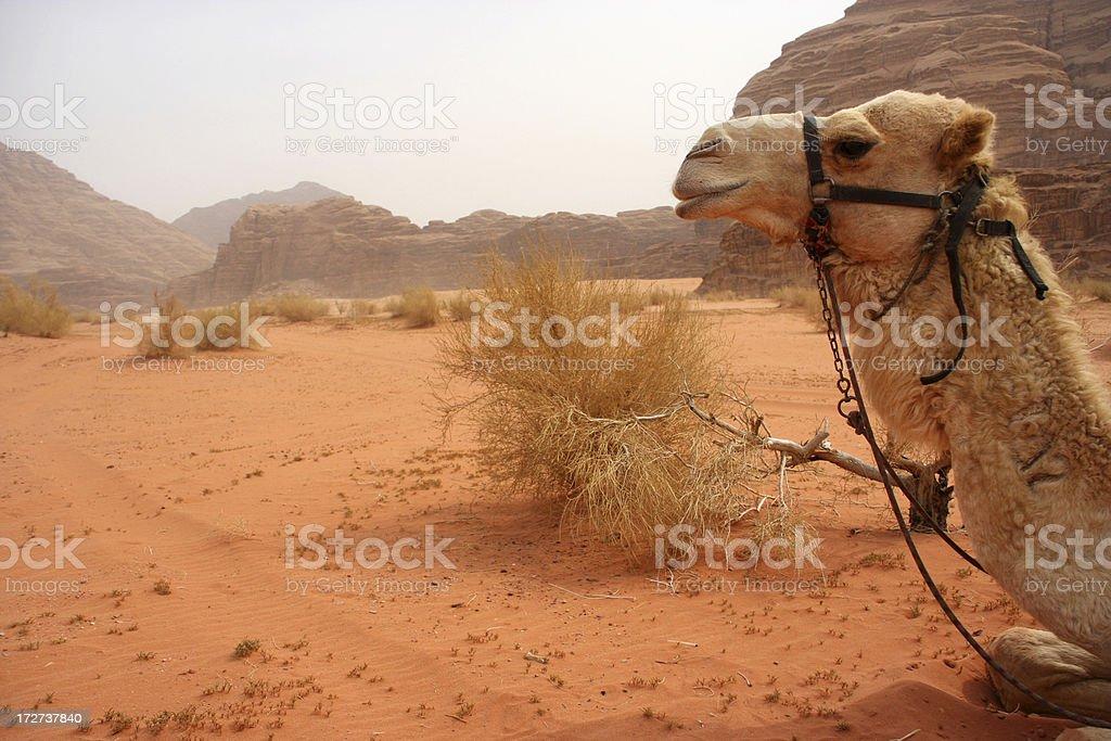 Camel background stock photo