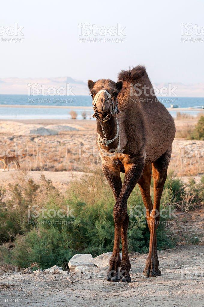 camel by Lake Qarun in the Fayoum, Egypt stock photo