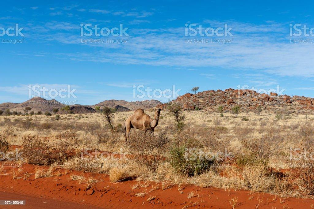Camel by roadside in Central Australia stock photo