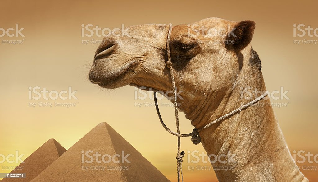 Camel by the egyptian pyramids royalty-free stock photo