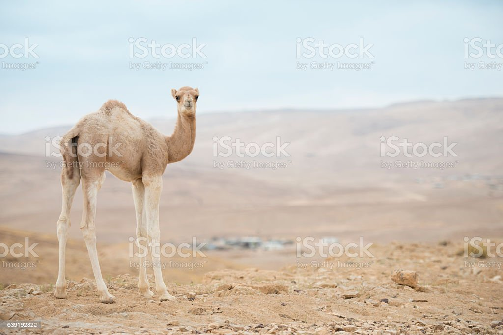 Camel calf. stock photo