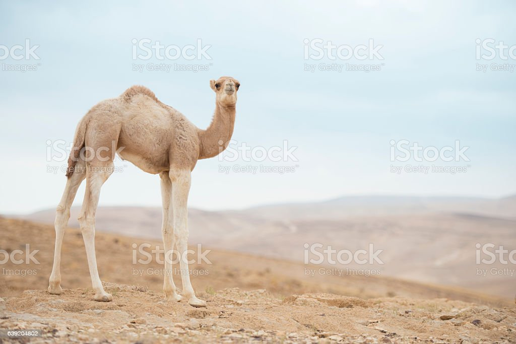 Camel calf. stock photo