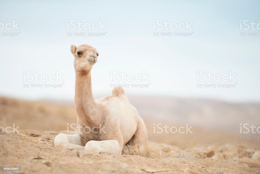 Camel calf resting in desert. stock photo