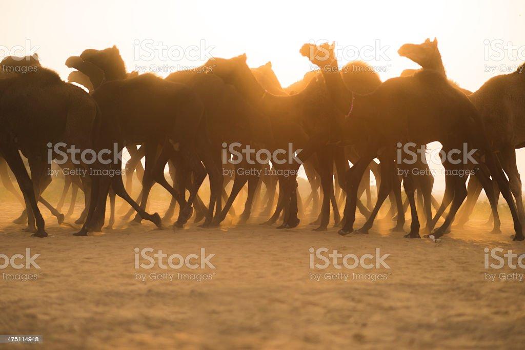 Camel caravan against the sunset crossing the desert, Pushkar, Rajasthan stock photo