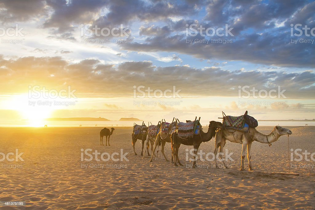 Camel caravan at the beach of Essaouira, Morocco. stock photo