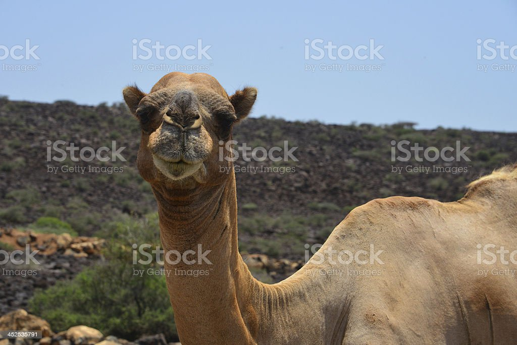 Camel - Caravan in the Afar Triangle, Djibouti stock photo