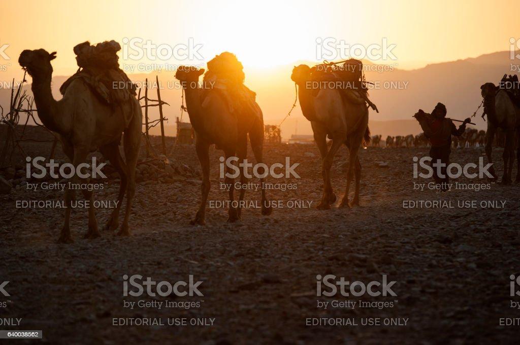 Camel caravan in the Danakil region, Ethiopia stock photo
