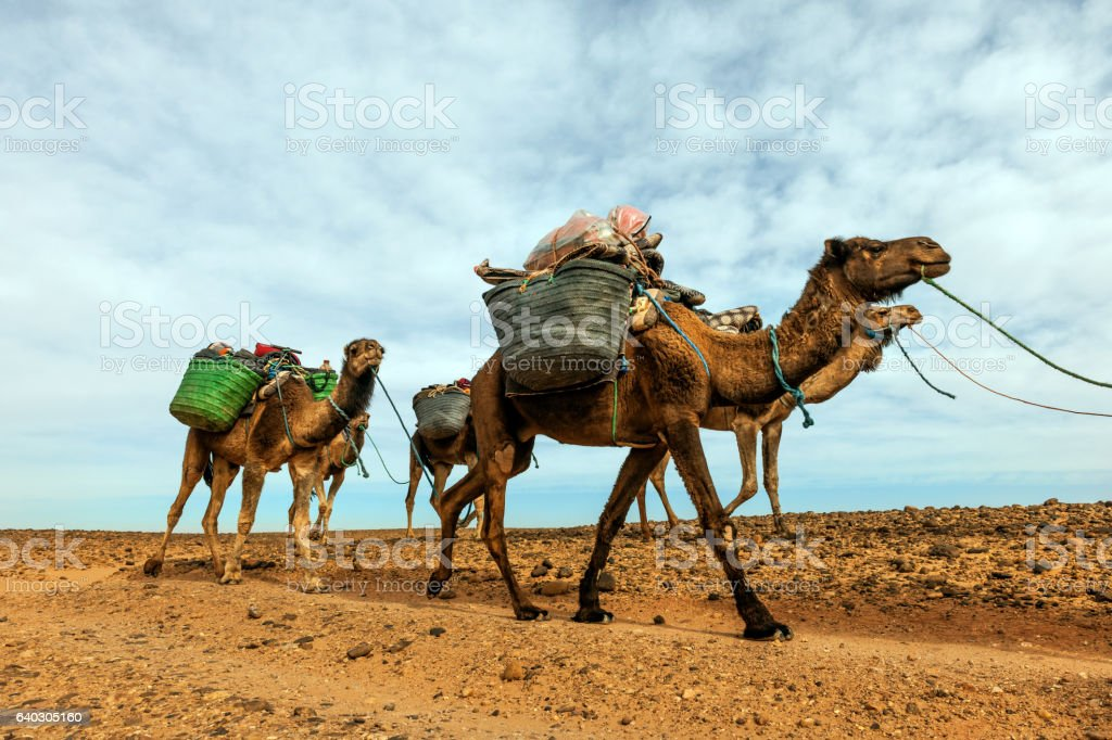 Camel caravan in the Sahara desert  Mhamid,Zagora,  Morocco Africa stock photo