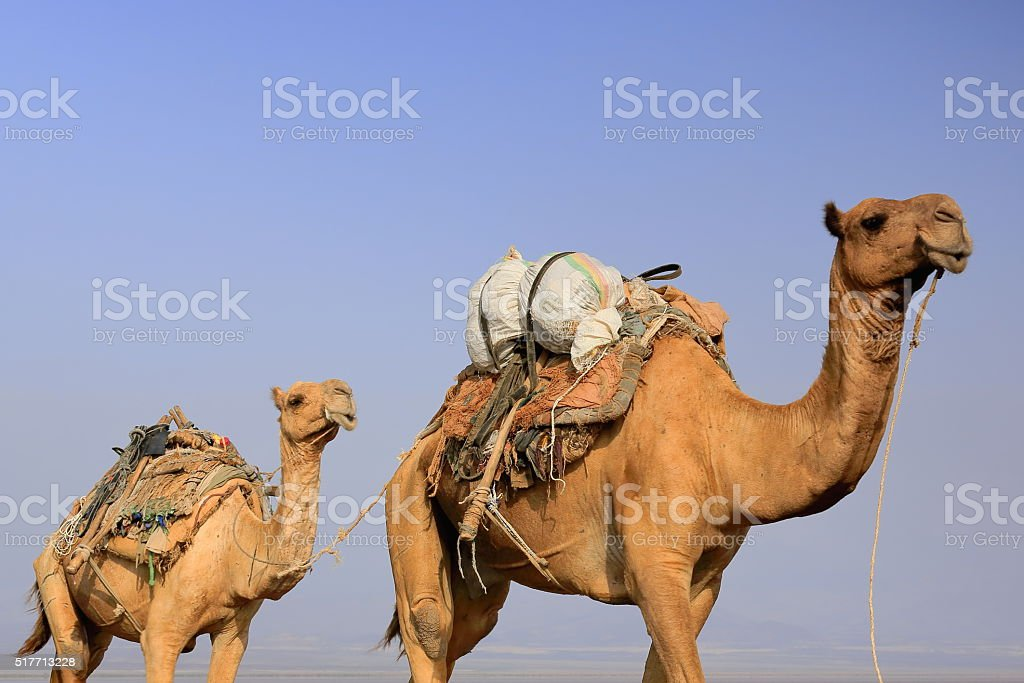 Camel caravan led by afar herders. Danakil-Ethiopia. 0268 stock photo