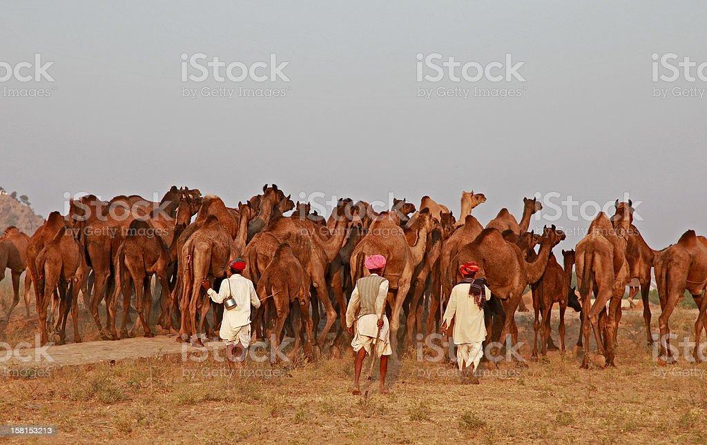 Camel Caravan, Pushkar royalty-free stock photo