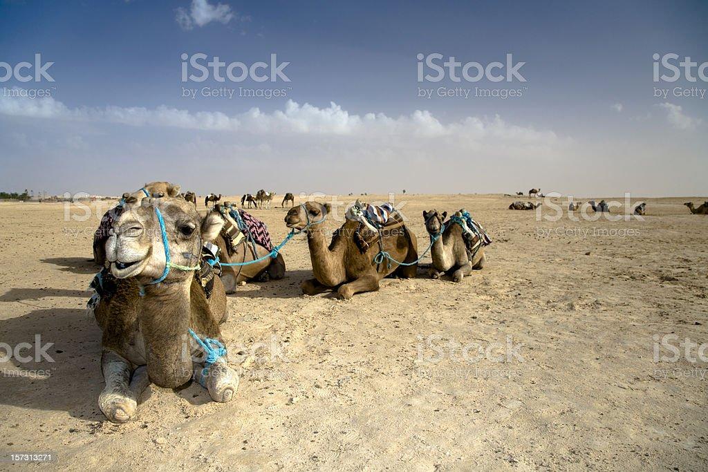 Camel Caravan Sahara Desert stock photo