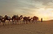 Camel Caravan Travelling Through Desert