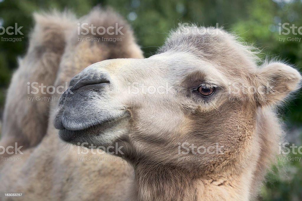 Camel close up stock photo