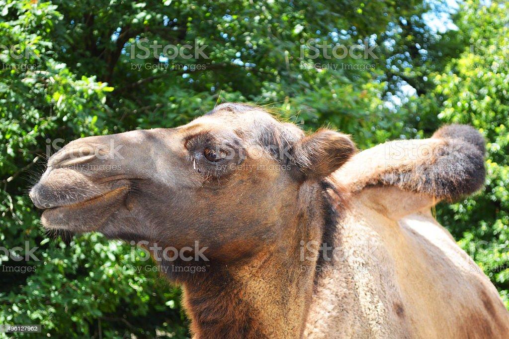 Camello primer plano foto de stock libre de derechos