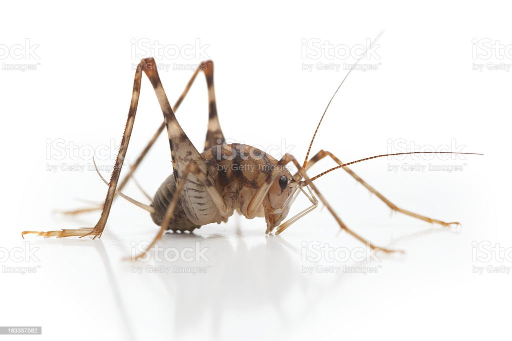 Camel Cricket Insect Side View Close Up stock photo