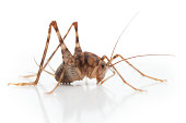 Camel Cricket Insect Side View Close Up
