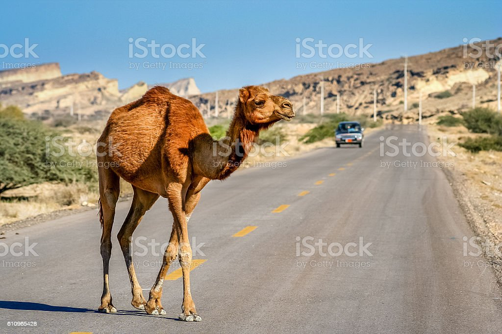 Camel crossing the road stock photo