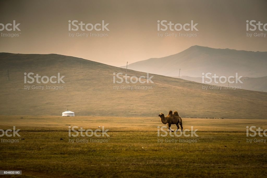 Camel crossing vast grassland in Mongolia stock photo