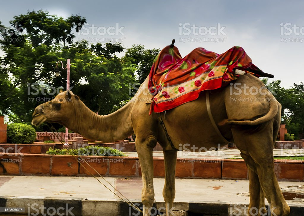 Camel decorated for a ride in jaipur royalty-free stock photo
