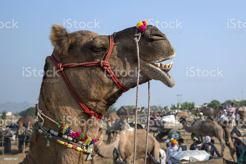 Camel decorated head at the Pushkar Fair, Rajasthan, India royalty-free stock photo