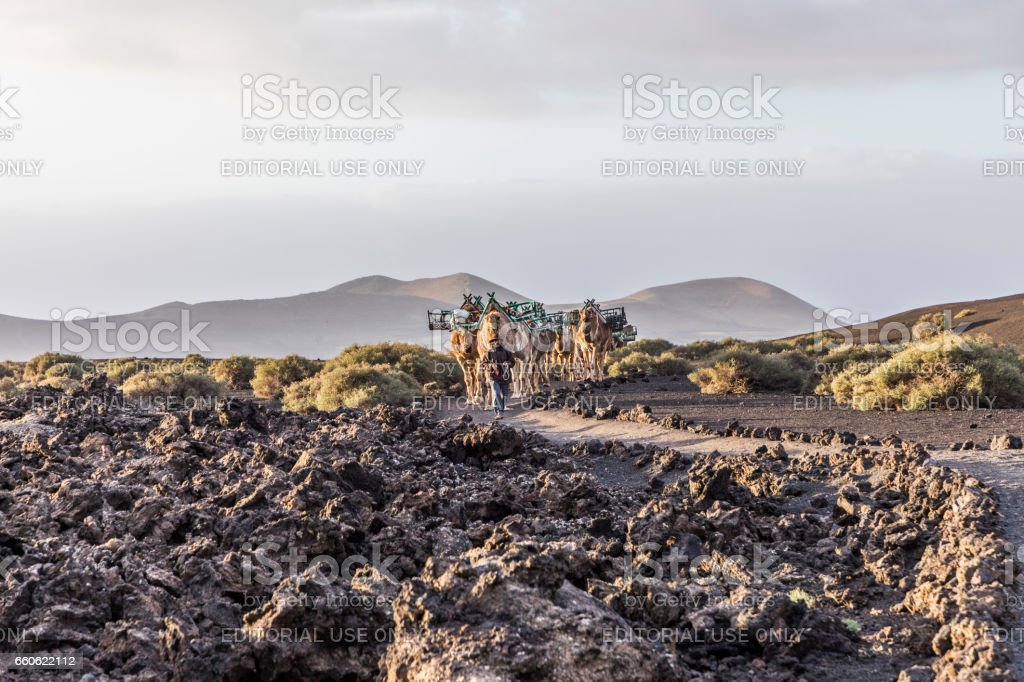camel driver guides the camel caravan through the volcanic area of timanfaya stock photo