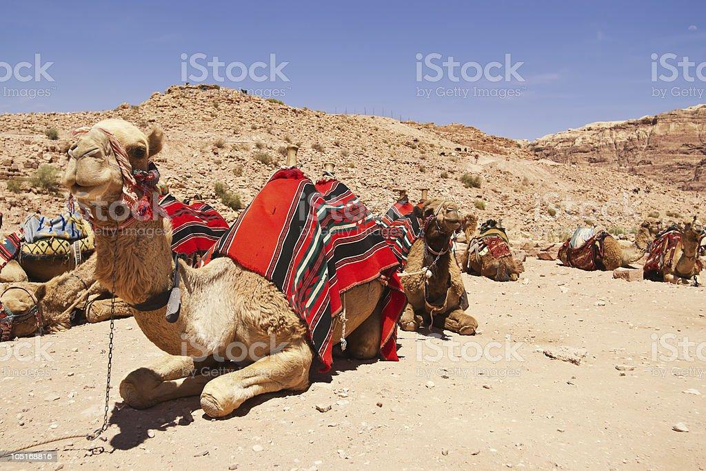 Camel dromedary in Petra, Jordan desert. royalty-free stock photo