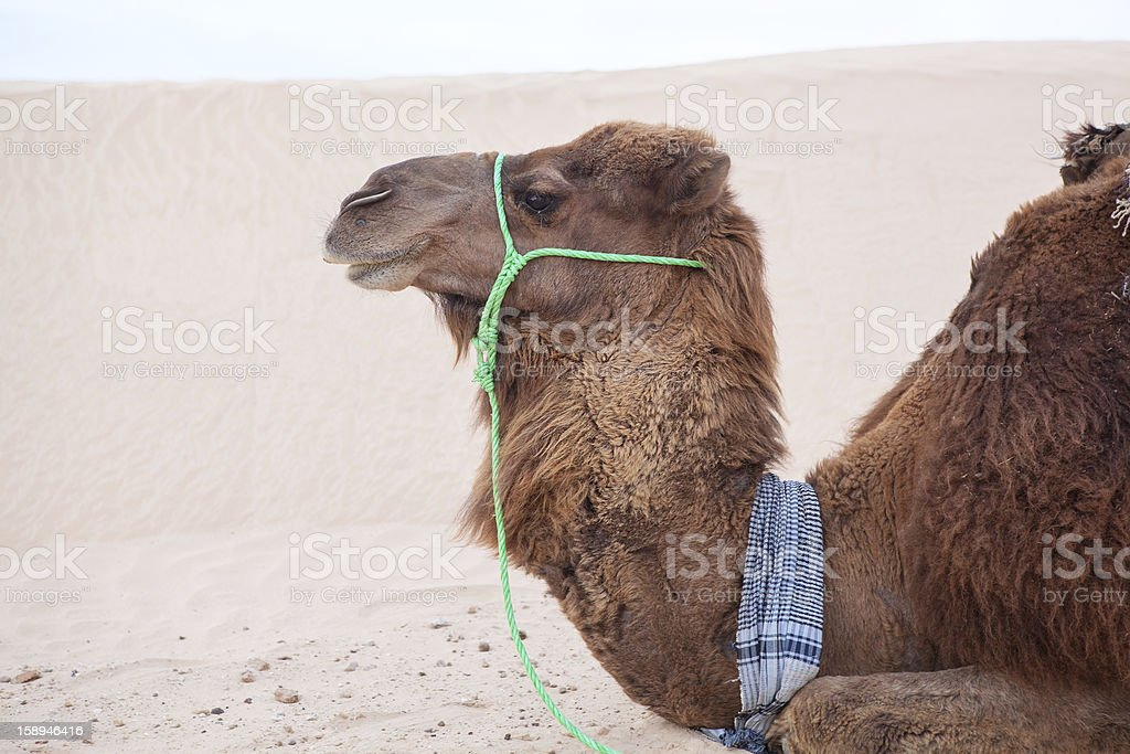 Camel dromedary in profile at rest royalty-free stock photo