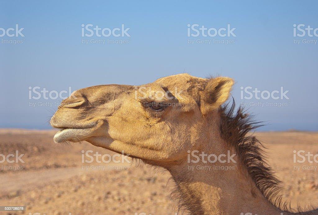 camel dromedary profile in the desert blue sky in the background stock photo