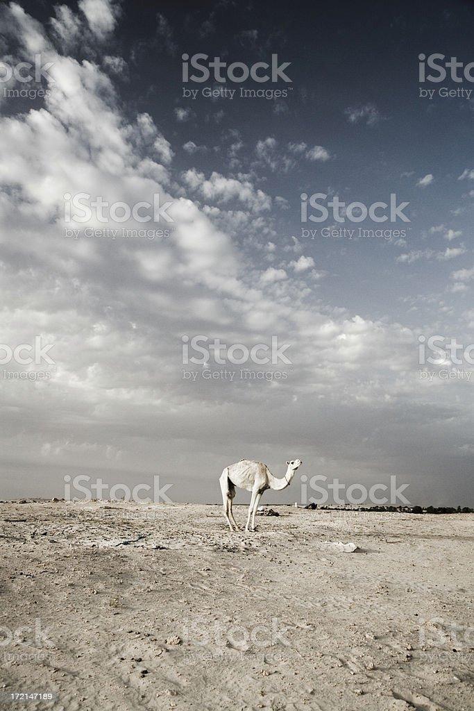 camel dromedary sahara desert royalty-free stock photo