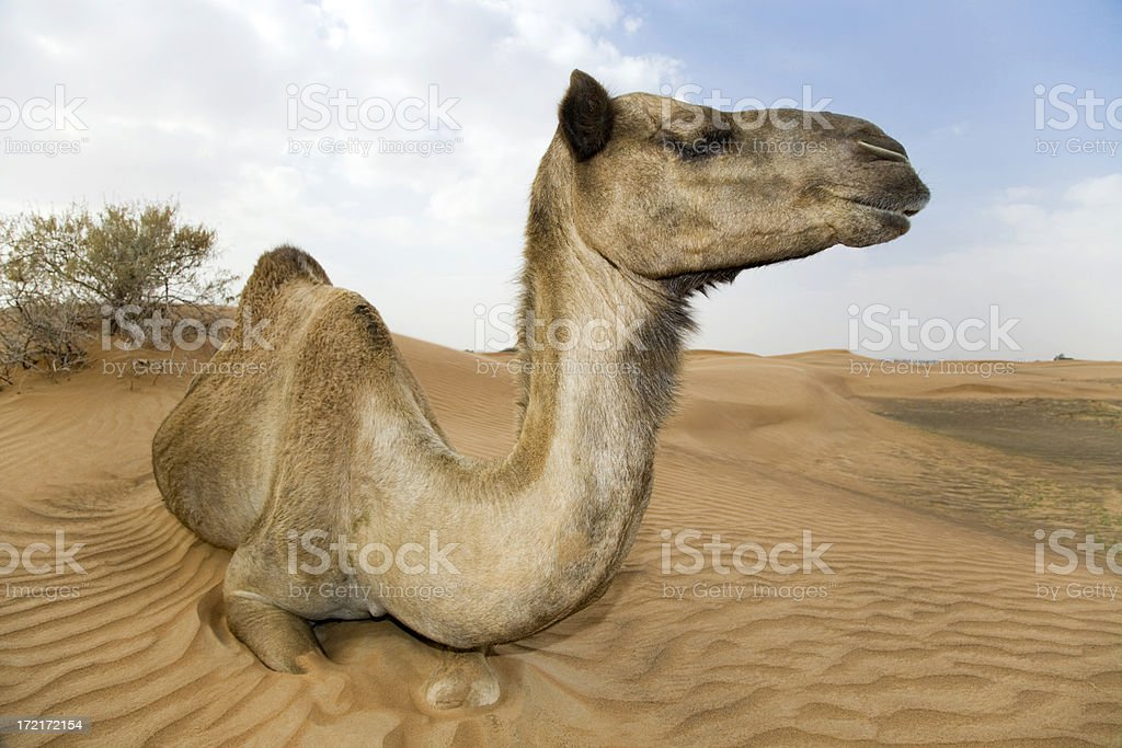 camel dromedary tired in the desert royalty-free stock photo