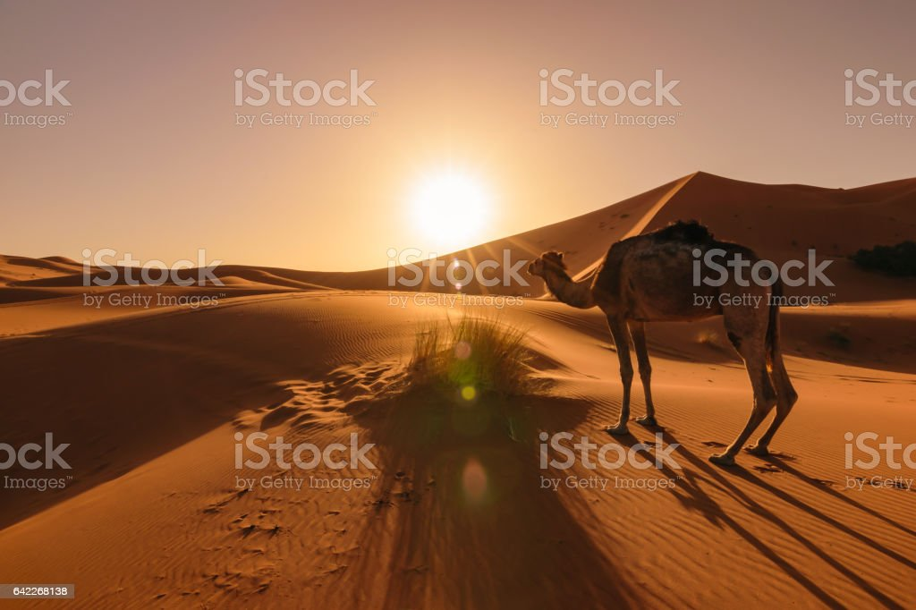 Camel eating grass at sunrise, Erg Chebbi, Morocco stock photo