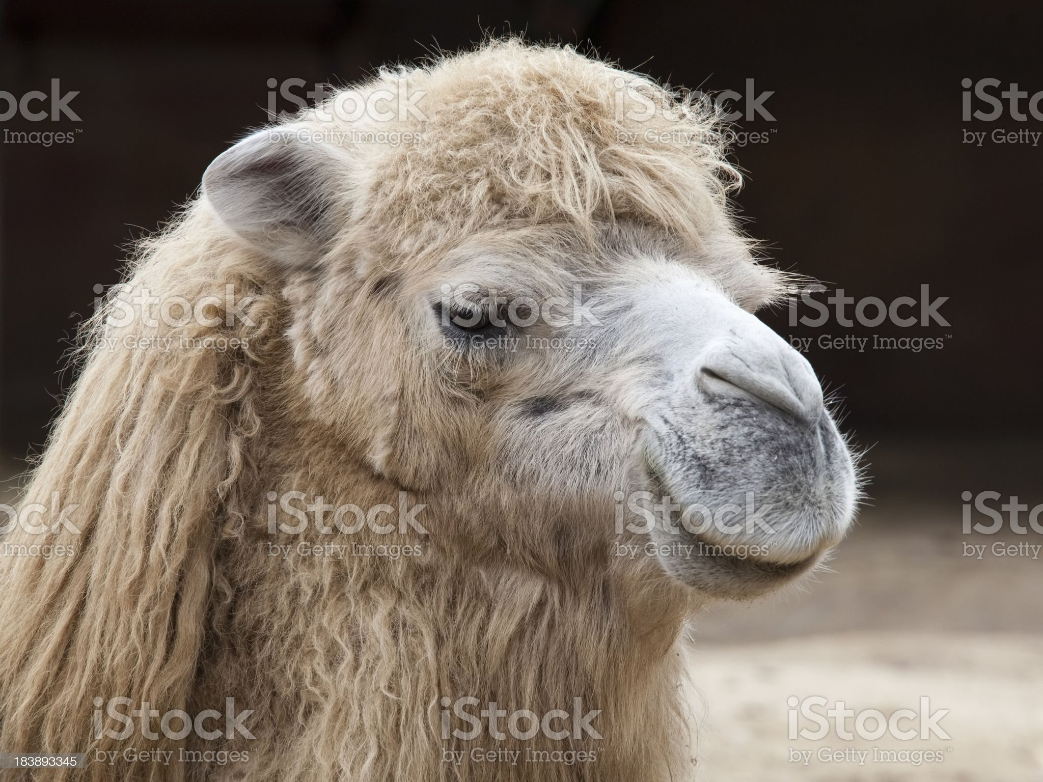 Camel Face Close-up royalty-free stock photo