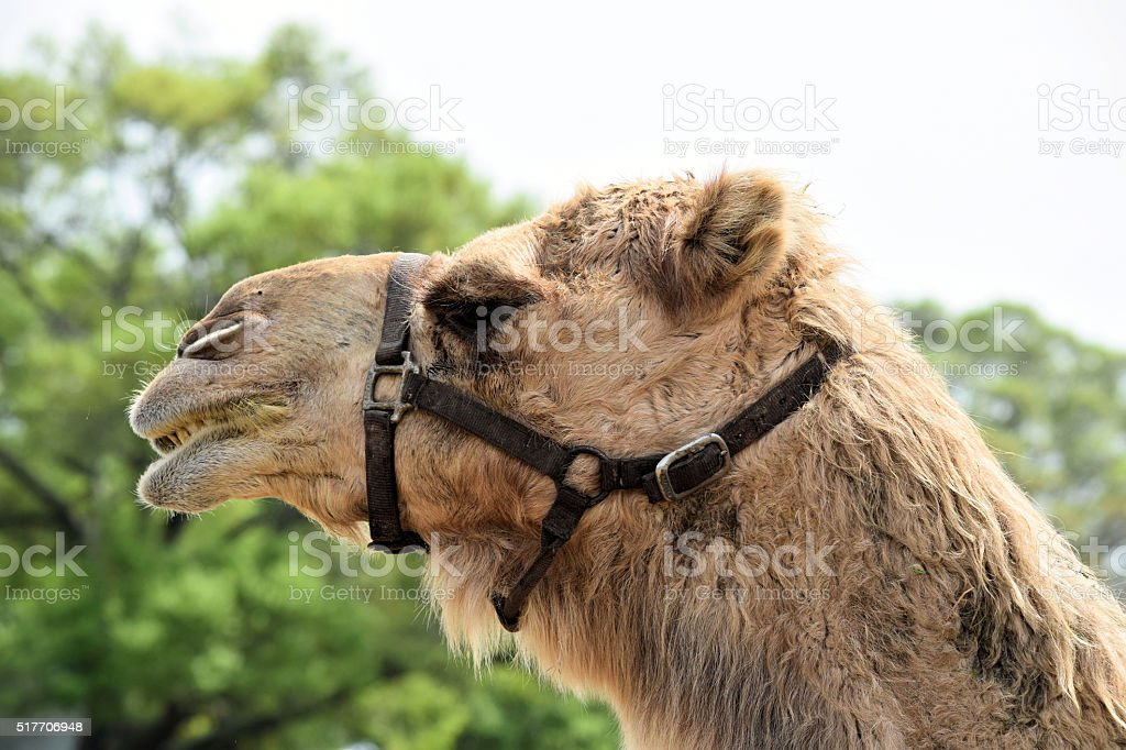 Camel face in macro stock photo