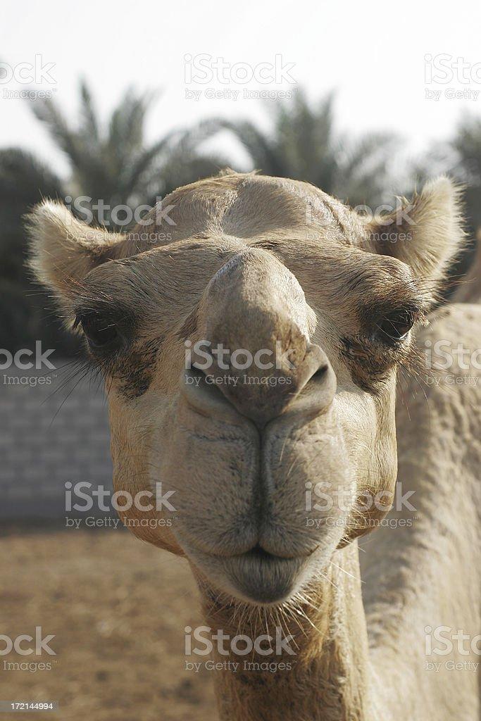 Camel Face royalty-free stock photo