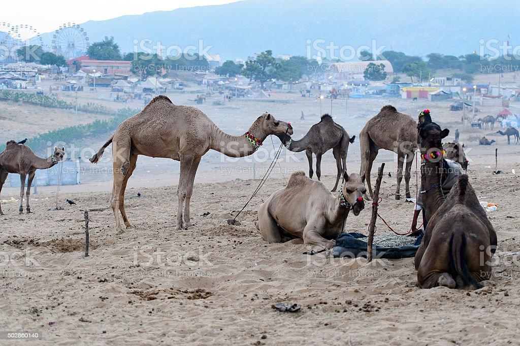 Camel Fair, Pushkar, India. stock photo