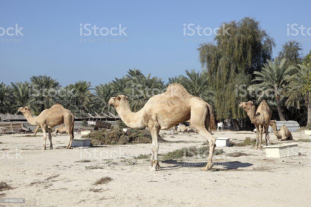 Camel farm stock photo