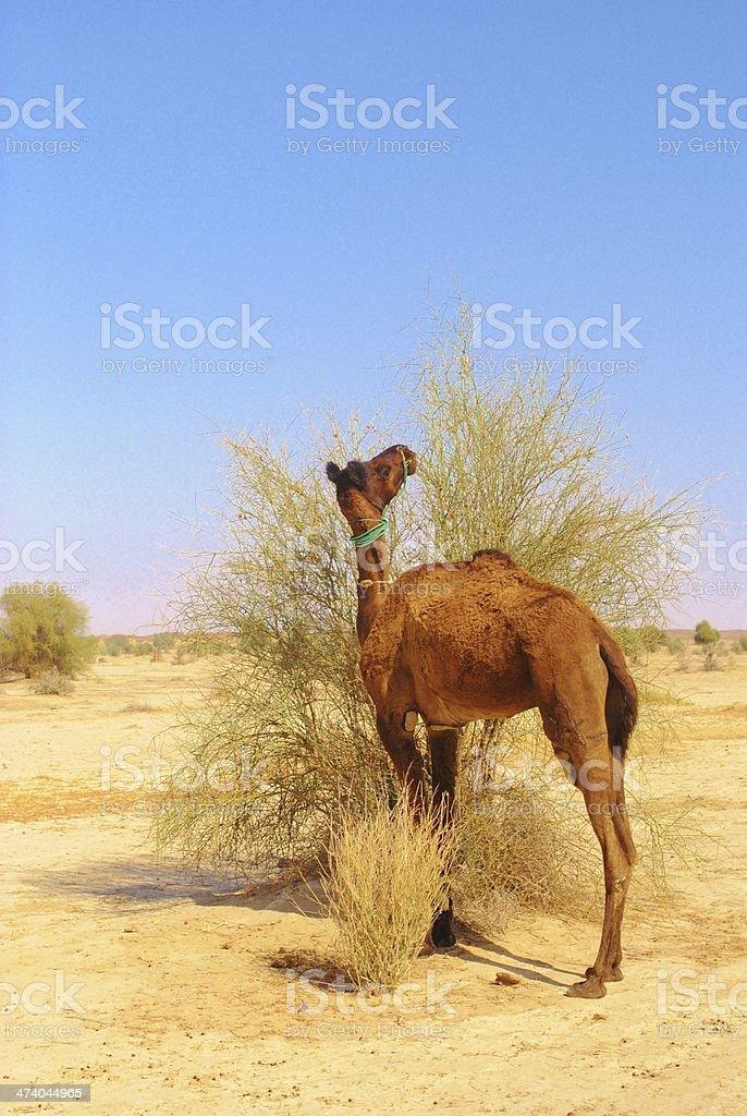 Camel Feeding, Jaisalmer, India royalty-free stock photo
