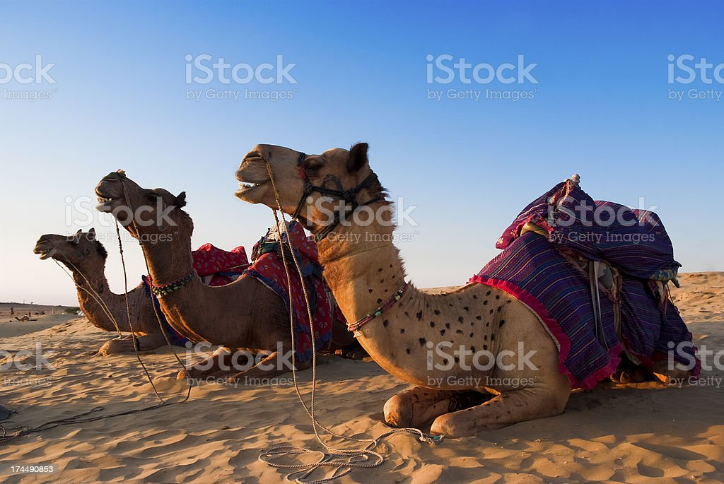 Camel for riding activity in India stock photo
