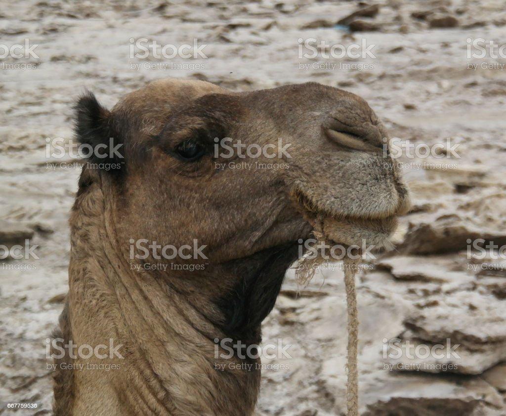 Camel for Transportation of salt slabs, Karum lake, Danakil, Afar Ethiopia stock photo