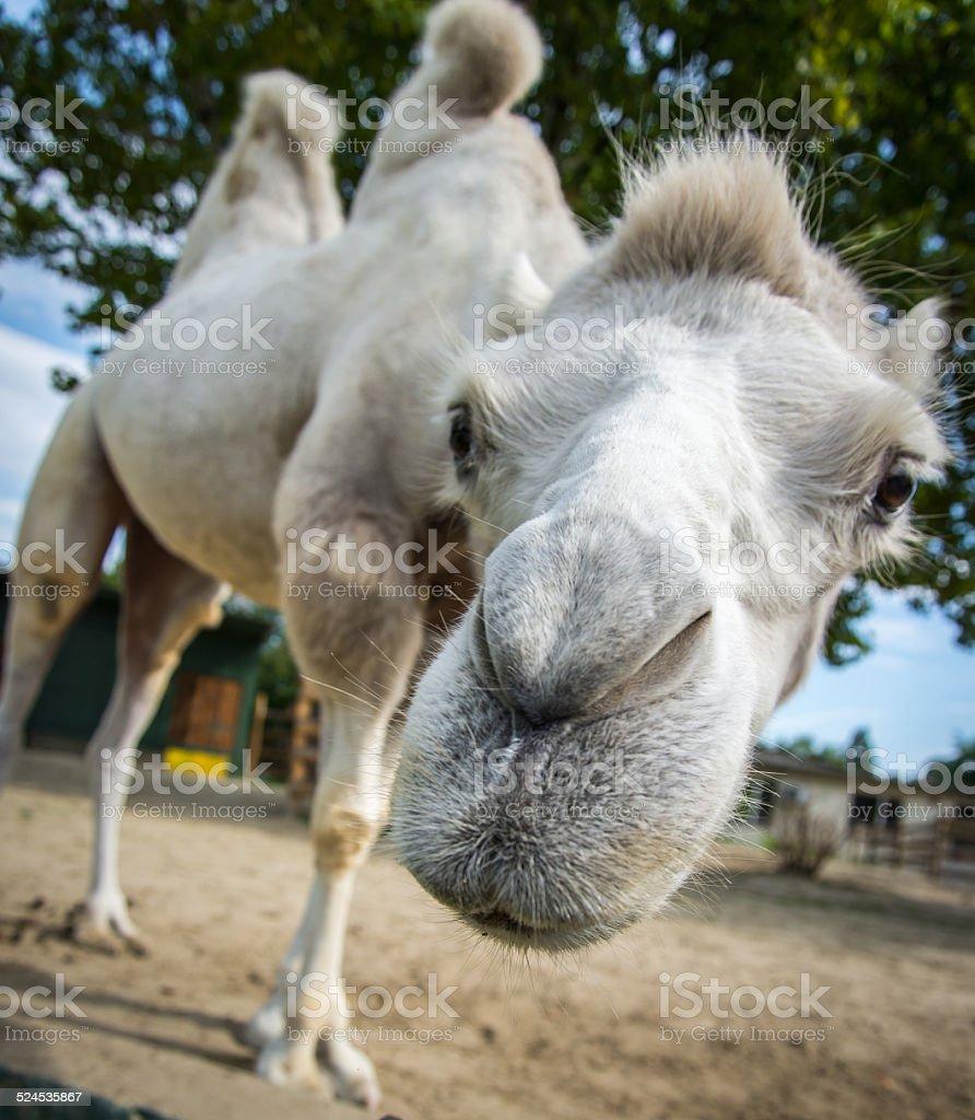 Camel funny face stock photo