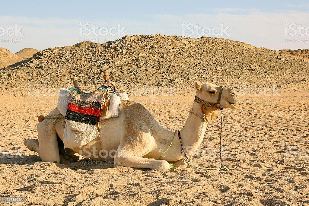 Camello un descanso en el desierto foto de stock libre de derechos