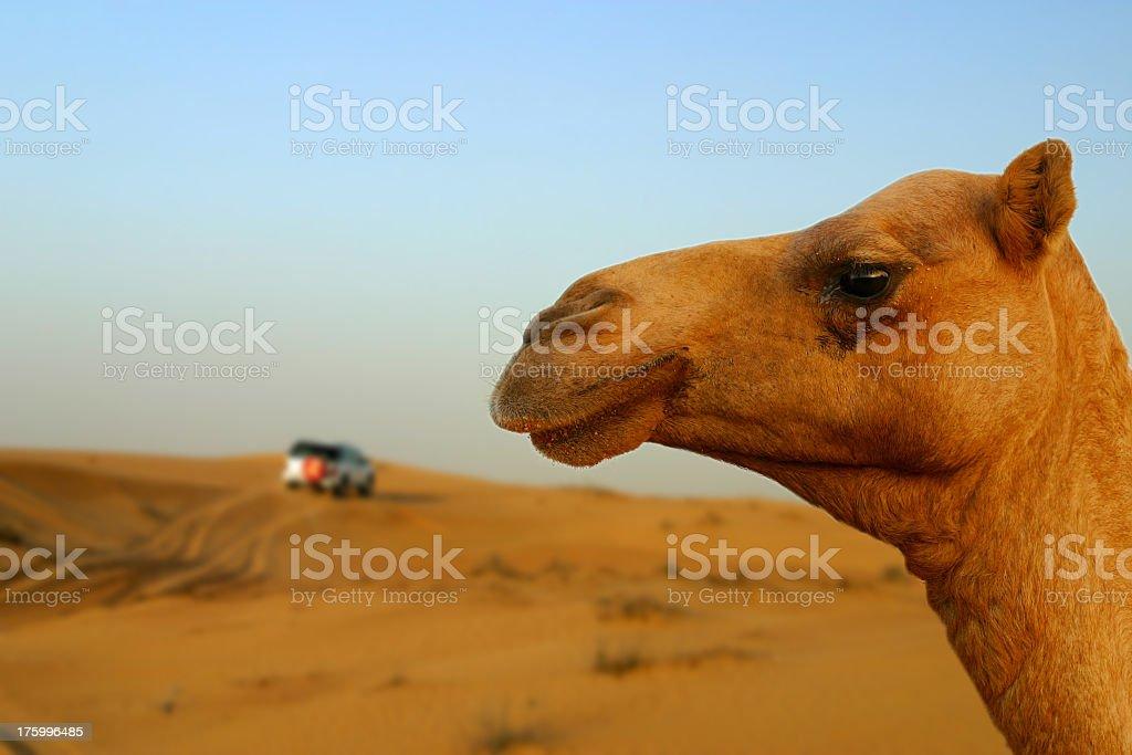 Camel head against desert background stock photo