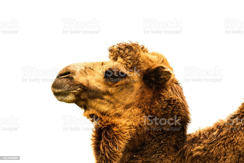 Camel Head Close-up Isolated on White stock photo