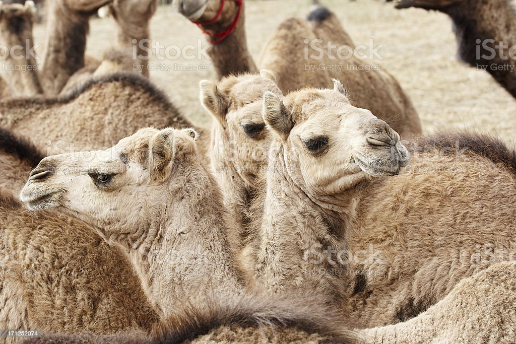 Camel head closeup royalty-free stock photo