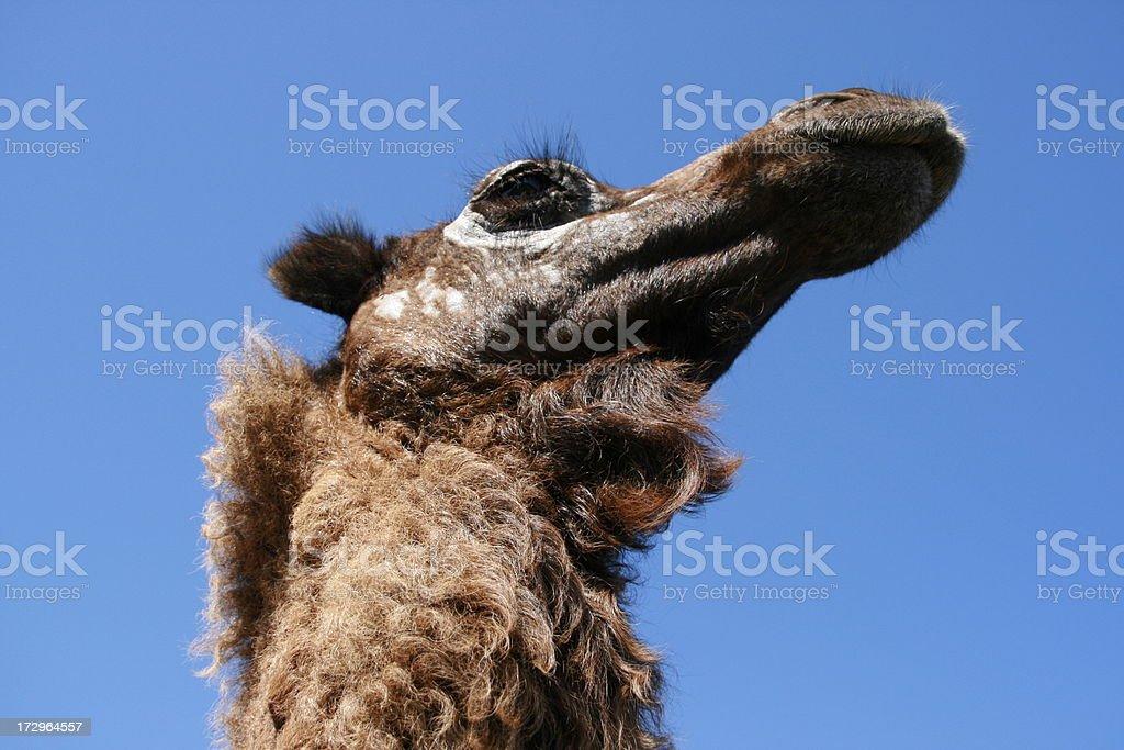 Camel Head Isolated against deep blue sky stock photo