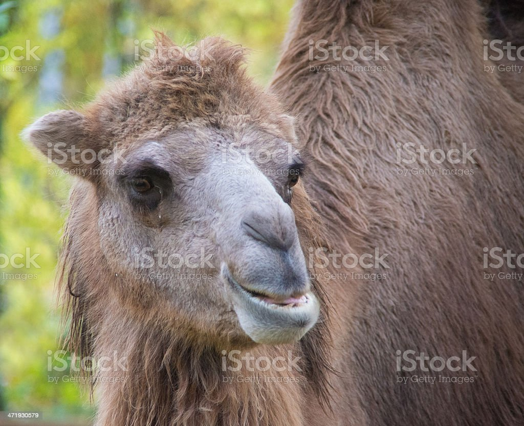 camel head royalty-free stock photo