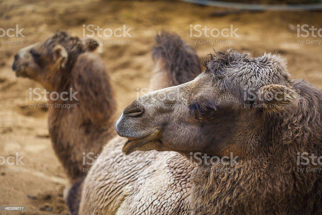 Camel head royalty-free stock photo