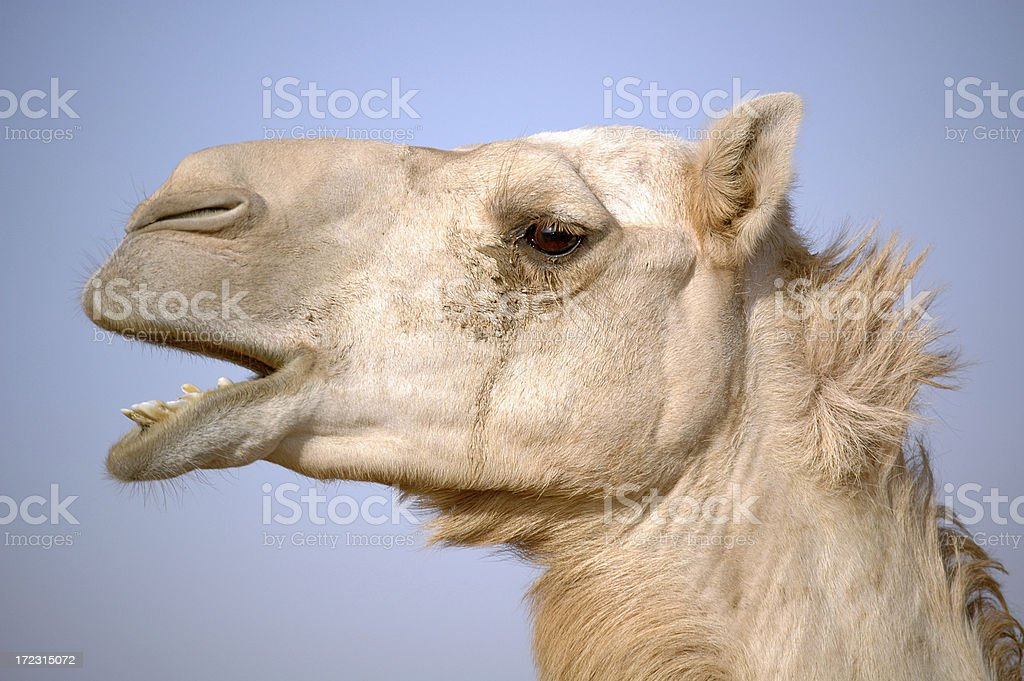 Camel head with isolated blue sky background royalty-free stock photo