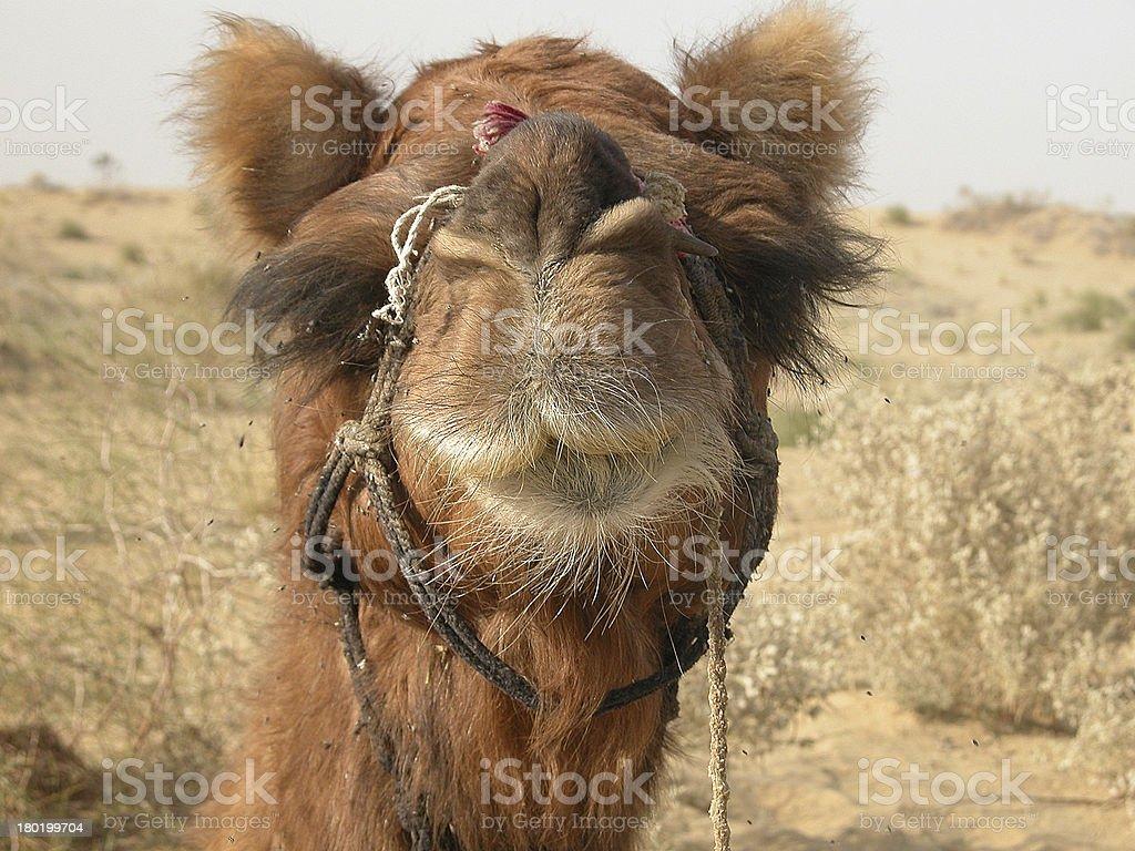 Camel headshot royalty-free stock photo