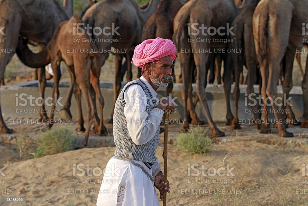Camel herder with his livestock. stock photo